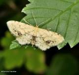 Single-dotted wave moth  (Idaea dimidiata), #7126