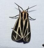 Harnessed tiger moth (Apantesis phalerata), #8169