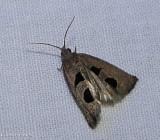 Aster-head phaneta moth   (Eucosma tomonana), #2936
