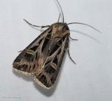 Dingy cutworm moth (Feltia jaculifera), #10670