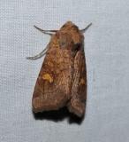 American ear moth  (Amphipoea americana), #9457