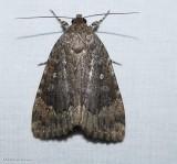 Copper underwing moth (Amphipyra pyramidoides), #9639