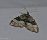 Toothed brown carpet moth ( Xanthorhoe lacustrata), #7390