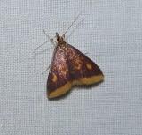 Mint-loving pyrausta moth  (Pyrausta acrionalis), #5071