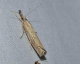 Vagabond crambus  (Agriphila vulgivagellus), #5403