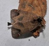 Sigmoid prominent moth (Clostera albosigma), #7895