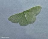Wavy-lined emerald moth  (Synchlora aerata), #7058