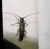 Elm borer longhorned beetle  (Saperda tridentata)