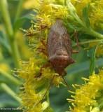 Stinkbug, predatory (Apoecilus)