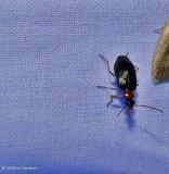 Ground beetle (Lebia)
