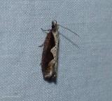 Diamondback epinotia moth (Epinotia lindana), #3351