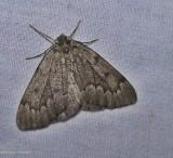 Nepytia moth  (Nepytia pellucidaria), #6909