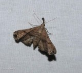 Faint-spotted palthis moth (Palthis asopialis), #8398