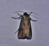 Venerable dart moth (Agrotis venerabilis), #10651