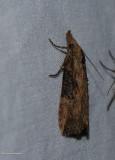 hop vine moth  (Hypena humuli), #8461