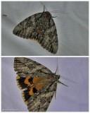 Yellow-banded underwing moth  (Catocala cerogama), #8802