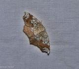 Horned spanworm moth  (Nematocampa resistaria), #7010