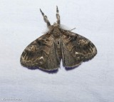 Definite tussock moth (Orgyia definita), #8314