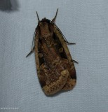 Sigmoid dart moth (Eueretagrotis sigmoides), #11007