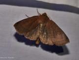 Unsated sallow moth (Metaxaglaea inulta), #9943