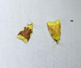 Aproned cenopis moths  (Cenopis niveana)), #3727