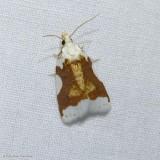 Aproned cenopis moth (Cenopis niveana)), #3727