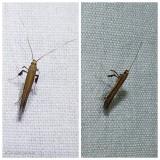 Moth  (caloptilia)