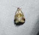 Black-dotted glyph moth (Maliattha synochitis), #9049