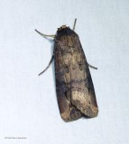 Dark sword-grass moth  (Agrotis ipsilon), #10663