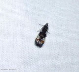 Shining dichomeris moth  (Dichomeris ochripalpella), #2289