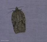 Black-lined acleris moth (Acleris nigrolinea), #3556