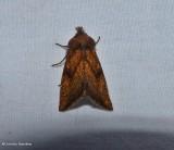 Aster borer moth (Papaipema impecuniosa), #9473
