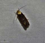 Purple carrot-seed moth (Depressaria depressana), #0924.1