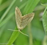 Pale glyph moth (Protodeltote albidula), #9048