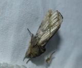 Chestnut schizura moth (Schizura badia), #8006