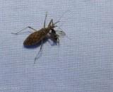 Damsel Bugs (Family: Nabidae)