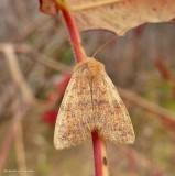 Bicolored sallow moth (Sunira verberata), #9960