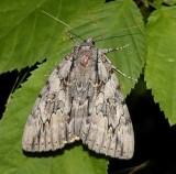 Youthful underwing moth (Catocala subnata), #8797