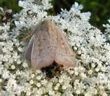 Unarmed wainscot moth (Leucania inermis), #10459