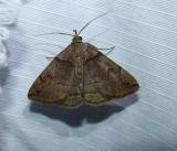 Variable fan-foot moth (Zanclognatha laevigata), #8345