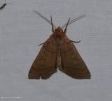 Unsated sallow moth ( Metaxaglaea inulta), #9943
