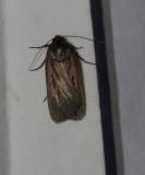 Cutworm moth, tribe Noctuini