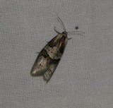 Tortricid moth (Decodes macdunnoughi), #3580.1