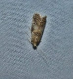 Pyralid moth (Acrobasis indiginella)