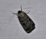 Collared dart moth (Agnorisma bugrai), #10954