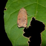 Cupid dart  moth (Abagrotis cupida), #11043