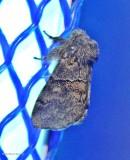 Common gluphisia moth (Gluphisia septentrionis), #7931