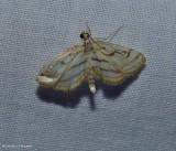 Chestnut-marked pondweed moth  (Parapoynx badiusalis), #4761