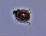 Eye-spotted lady beetle (Anatis mali)