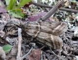 Pyralid moth (Sarata caudellella), #5870